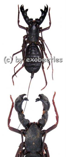 Hypocnotus rangunensis  ( Medium )
