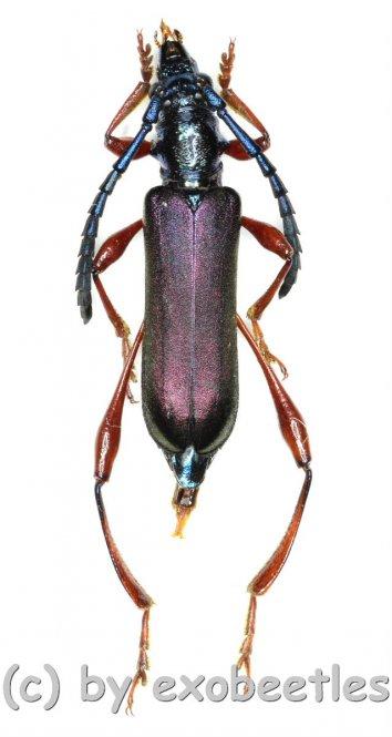 Ipothalia cambodgensis  ( 15 - 19 )