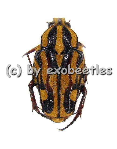 Ixorida ( Mecinonota ) fraterna