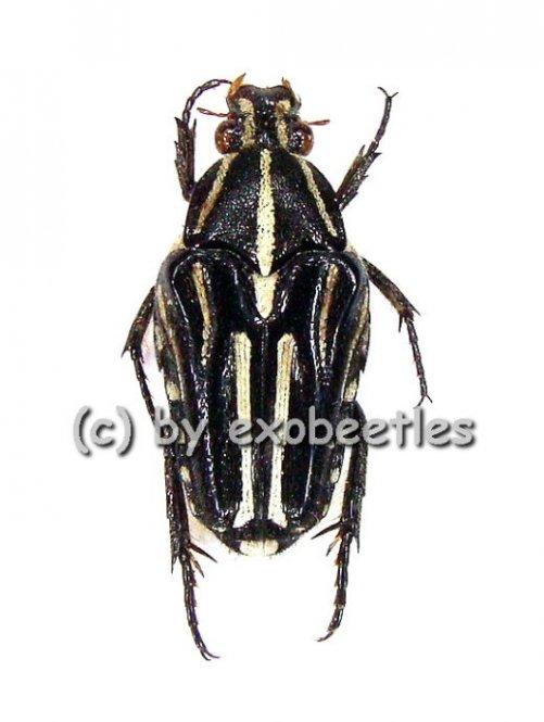 Ixorida ( Mecinonota ) venerea