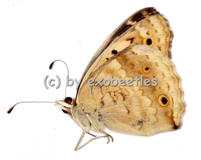 Junonia orithya wallacei