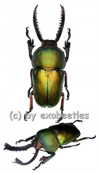 Lamprima adolphinae  ( 45 - 49 )  A1-
