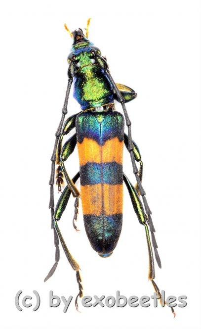 Laosaphrodisium watsoni  ( 15 – 24 )