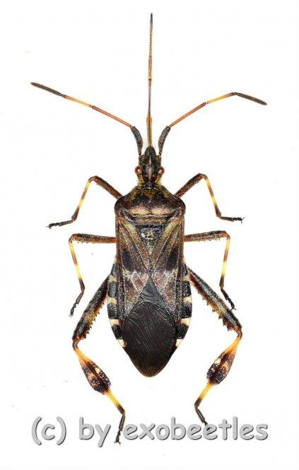 Leptoglossus occidentalis  ( 15 – 19 )  A2