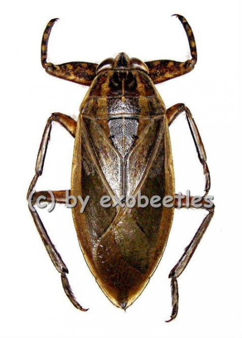 Lethocerus spec.  ( 60 - 74 )