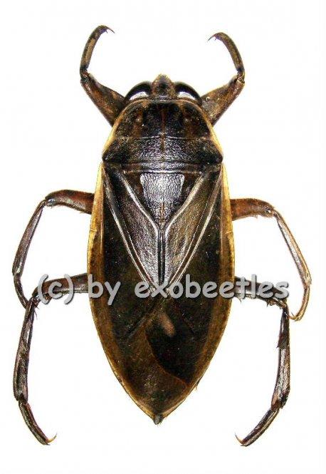 Lethocerus spec. #1  ( 55 - 74 )