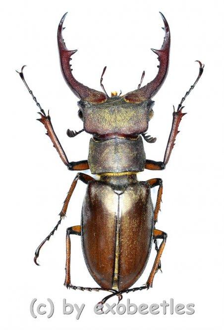 Lucanus formosus ( syno. L.cyclommatoides )  ( 40 – 44 )