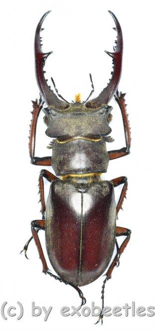 Lucanus kraatzi giangae  ( 45 - 49 )