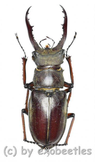 Lucanus kraatzi giangae  ( 35 - 39 )