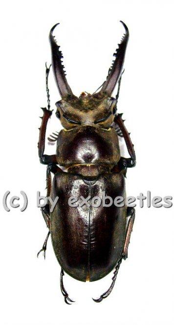 Lucanus laminifer laminifer  ( 50 - 54 )