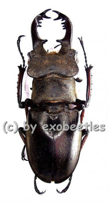 Lucanus maculifemoratus boileaui  ( 50 - 54 )