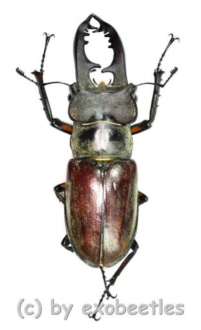 Lucanus maculifemoratus dybowskyi  ( 45 - 49 )