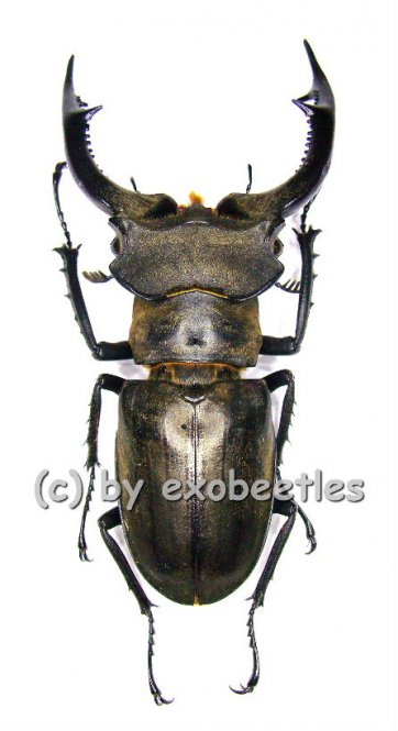 Lucanus nobilis  ( 45 - 49 )