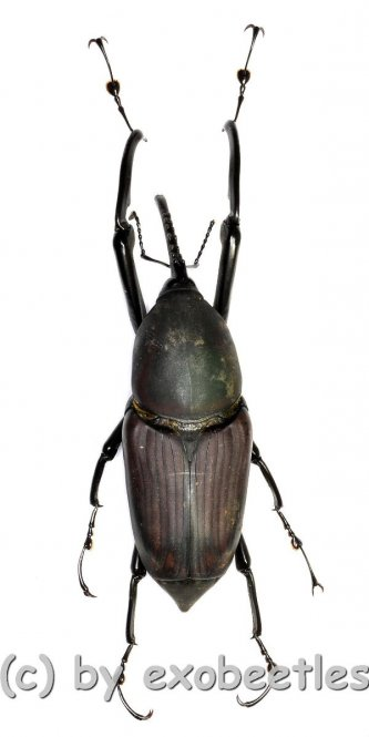 Macrocheirus praetor  ( 60 – 64 )