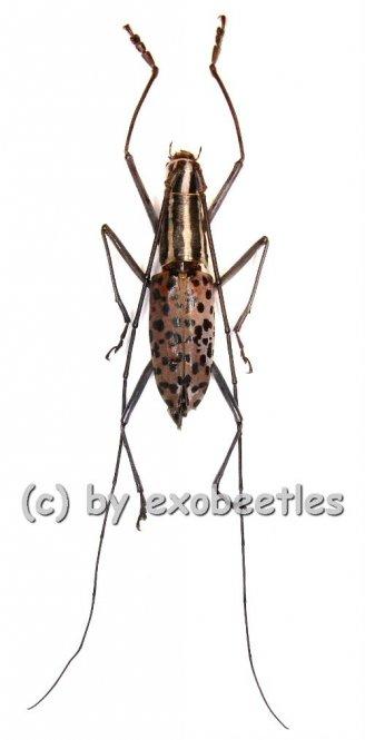 Macrochenus isabellinus aurivillius  ( 25 - 29 )