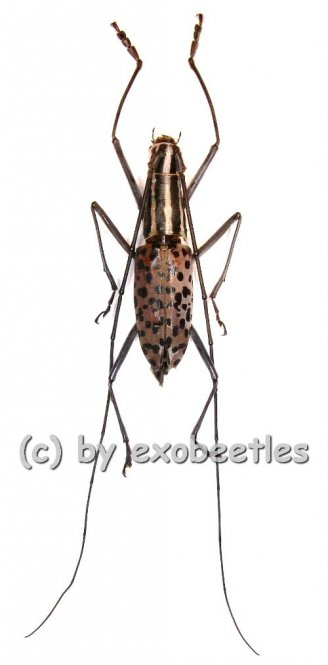 Macrochenus isabellinus aurivillius  ( 20 - 24 )