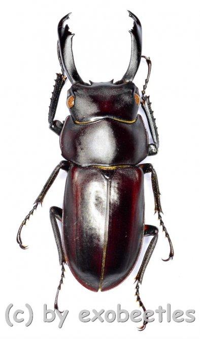 Macrodorcas ( Pogonodorcus ) bisignatus elsiledis  ( 25 - 29 )