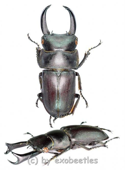 Macrodorcas ( Pogonodorcus ) seguyi  ( 25 - 29 )