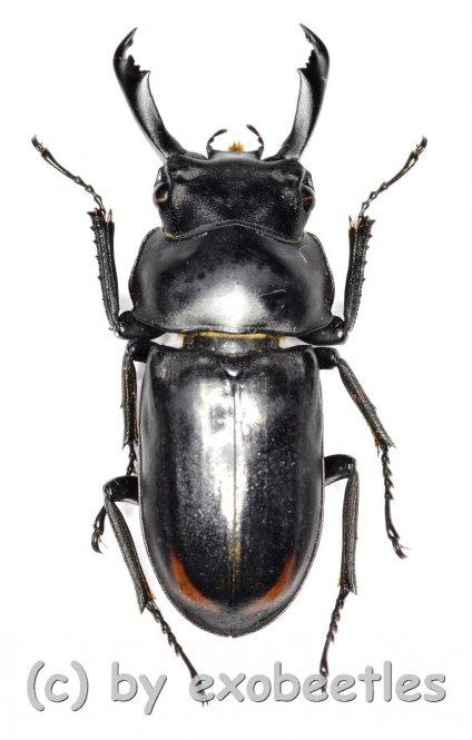 Macrodorcus ( Pogonodorcus ) bisignatus giselae  ( 25 – 29 )