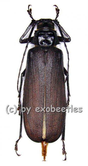Macrotoma crenata  ( 45 – 49 )