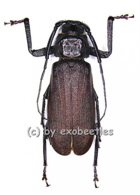 Macrotoma crenata  ( 40 - 49 )  A2