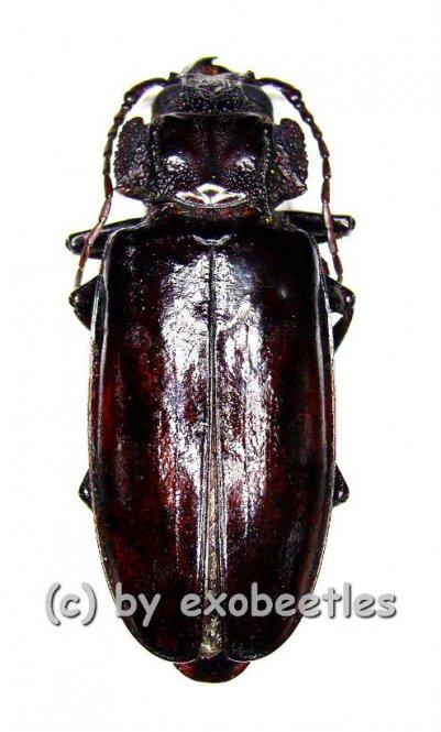 Mallodon spinibarbis  ( 40 - 49 )