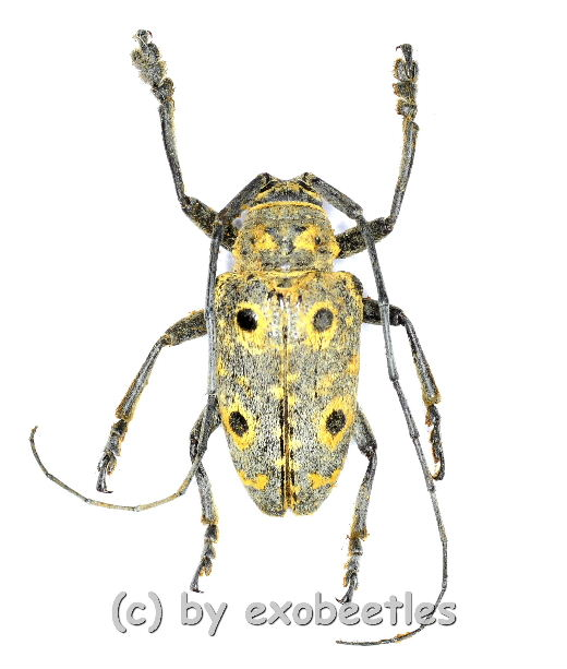 Megalofrea humeralis  ( 15 - 19 )  A2