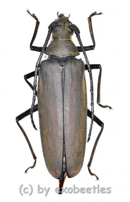 Megopis sinica  ( 40 – 44 )