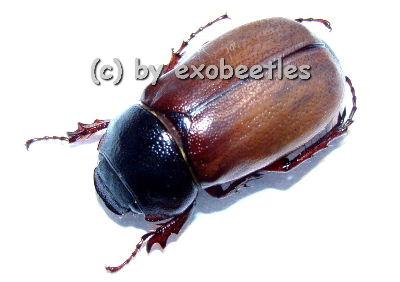 Melolonthidae spec. #1