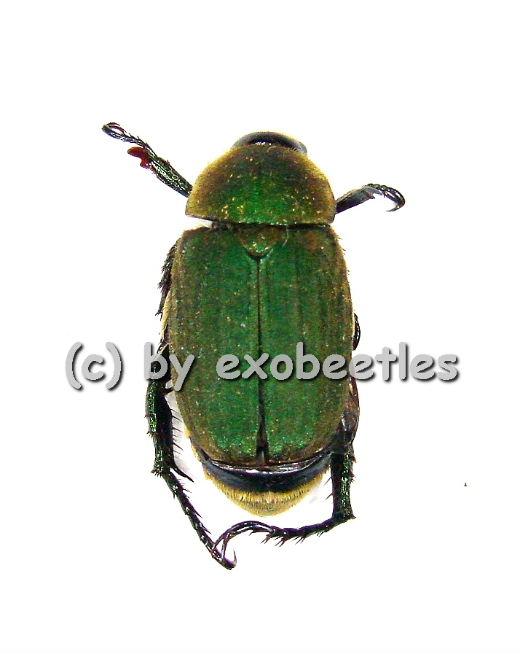 Melolonthidae spec. #11 ( grün )  ( 10 - 14 )