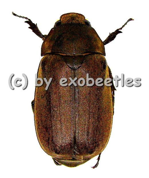 Melolonthidae spec. #13  ( 30 - 35 )