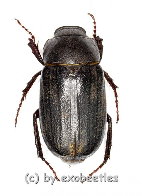 Melolonthidae spec. #20  ( 15 – 19 )  A2
