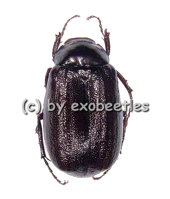 Melolonthidae spec. #4