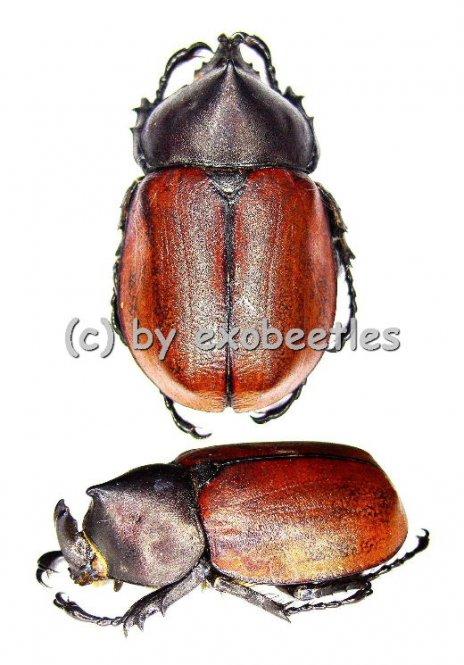 Mitracephala humboldti  ( 30 - 34 )