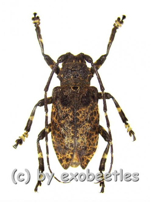 Moechotypa diphysis  ( 20 - 24 )