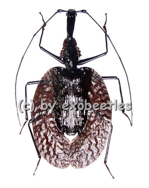 Mormolyce phyllodes  ( 75 - 79 )