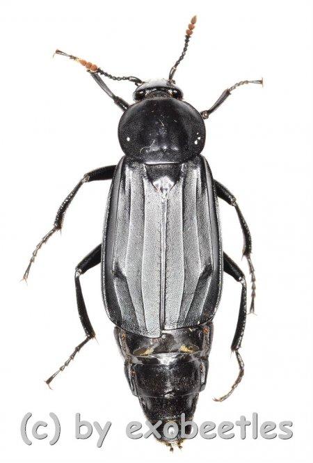 Necrodes littoralis  ( 25 - 29 )
