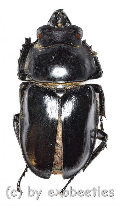 Neolucanus brevis ssp.brevis  ( 35 - 39 )