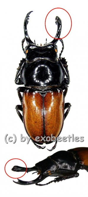Neolucanus brochieri ( Freak )  ( 40+ )