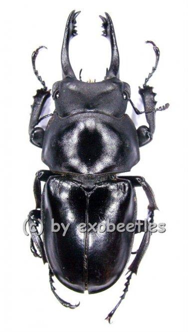 Neolucanus delicatus ( schwarze var. )  ( 40 - 44 )