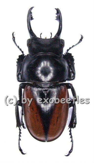 Neolucanus delicatus ( braune var. )  ( 40 - 44 )