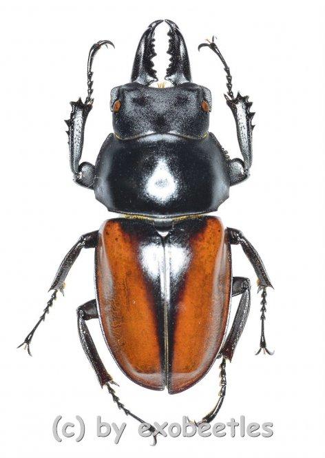 Neolucanus delicatus ( mesodonte )  ( 35 - 39 )