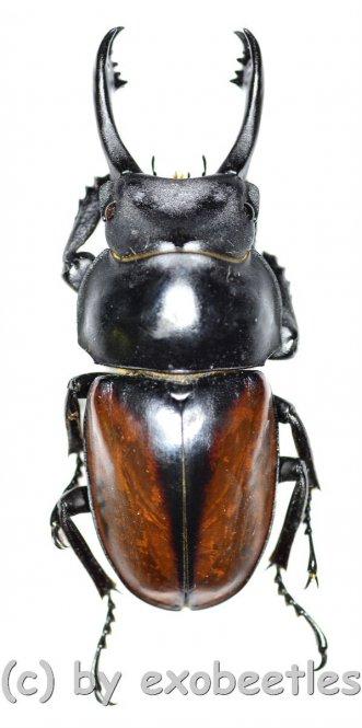 Neolucanus delicatus ( teledonte )  ( 40 - 44 )