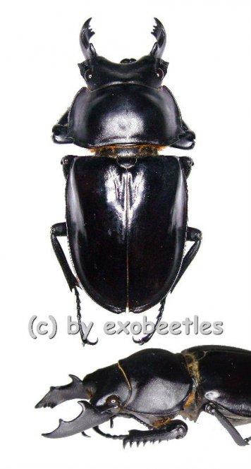 Neolucanus maximus maximus  ( 65 - 69 )  A2