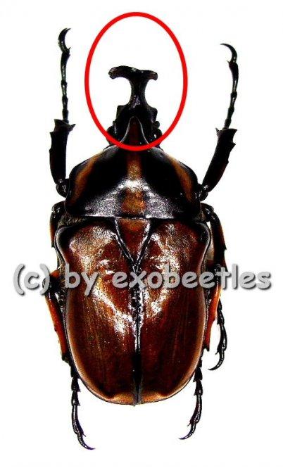 Neophaedimus auzouxi ( Freak )  ( 25+ )