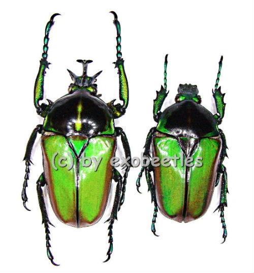 Neptunides polychrous fasciicollis ( grüne var. )  ( 25 - 34 )