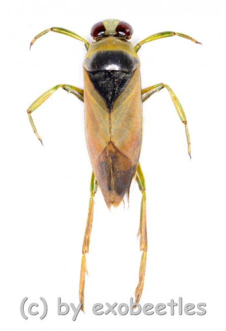 Notonecta glauca  ( 15 – 19 )