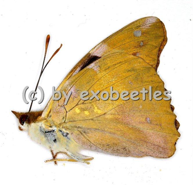 Nymphalidae spec. #5  A1-