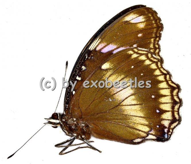 Nymphalidae spec. #7  A2