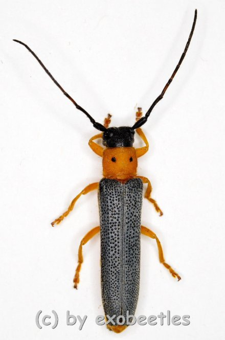 Oberea oculata  ( 15 – 19 )